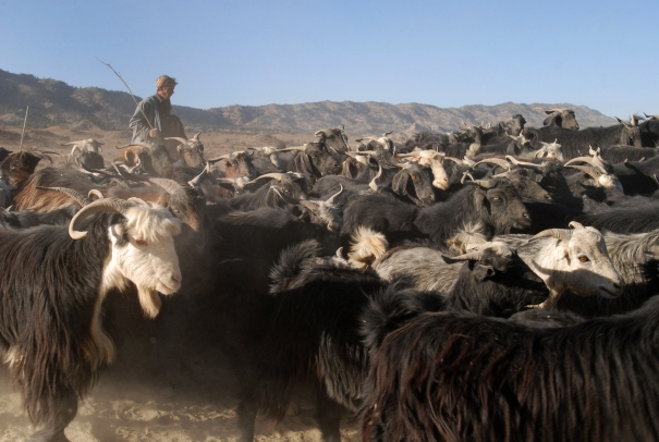 Afghan shepherd and flock (public domain-Wikimedia Commons)
