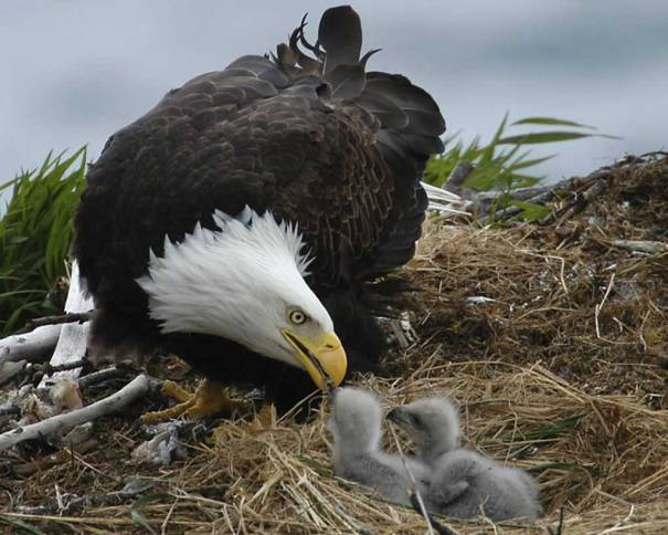 Bald-Eagle-and-Young-Audubon-Org